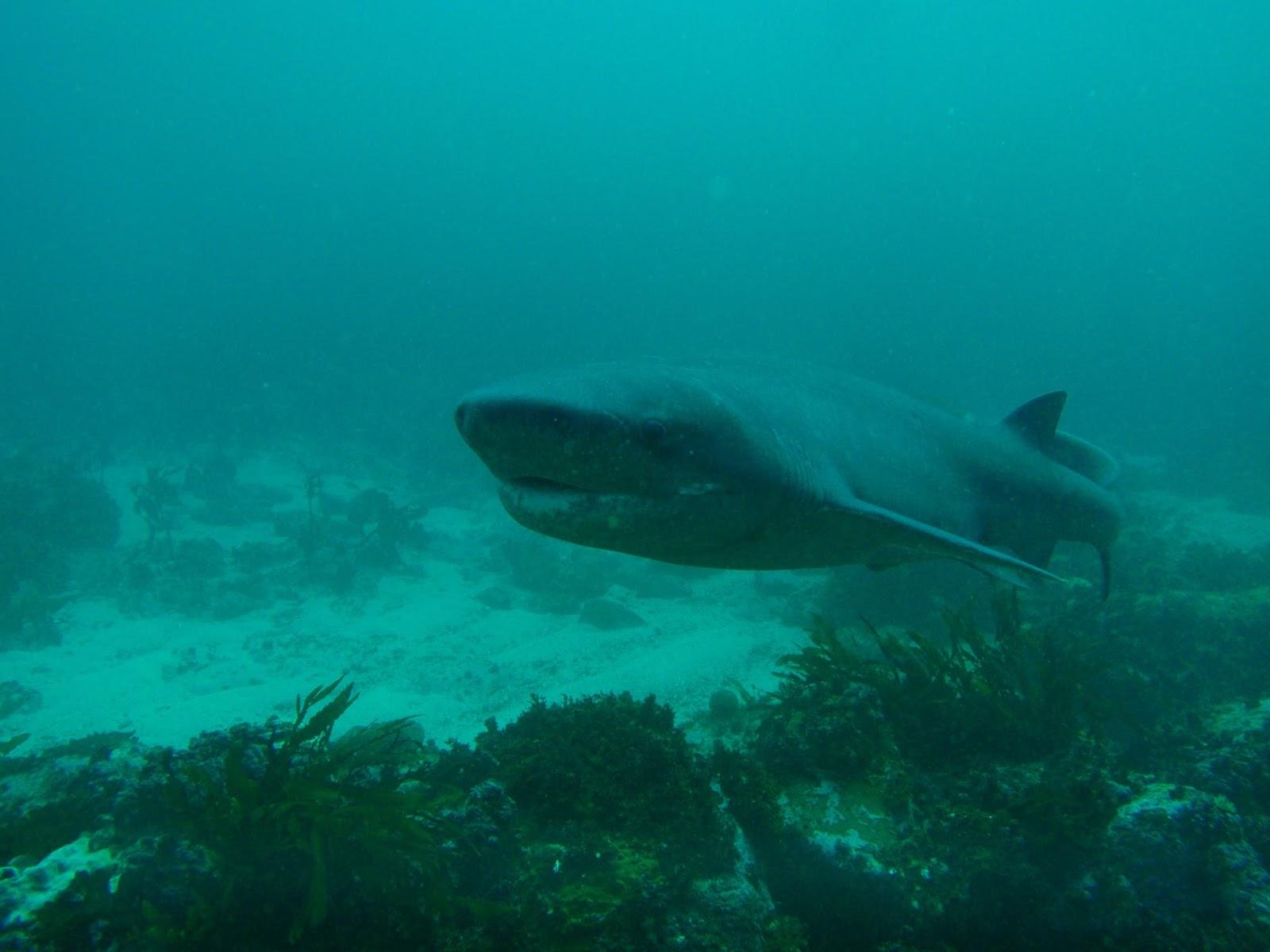 Biggest Shark Whole World