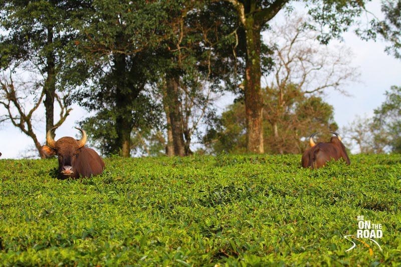 Tea Estates of Valparai, Tamil Nadu, India