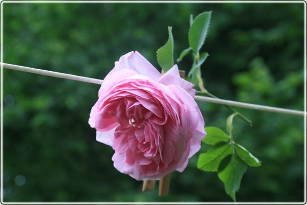 Louis Odier roses, Kazanlik damascene rose, róża damasceńska, róża Kazanlik, historia rózy Louis Odier