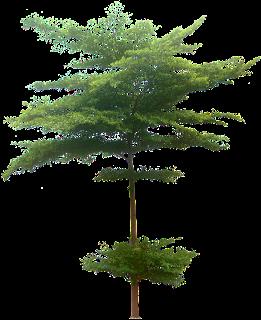 Jual Pohon Pelindung Ketapang Kencana