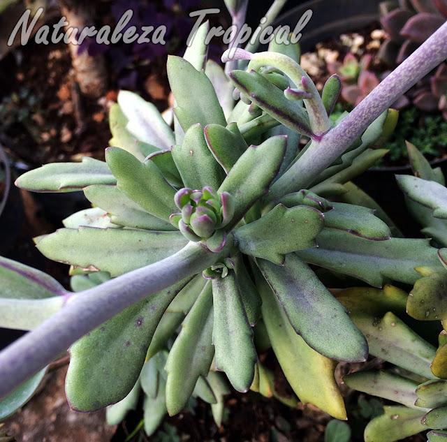 Kleinia fulgens antes incluida en el género Senecio fue reclasificada e incluida en el género Kleinia