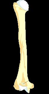 Surface markings of the humerus bone