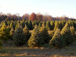 many pine trees at sunset at T&S Christmas Tree Farm in Hawarden, Iowa