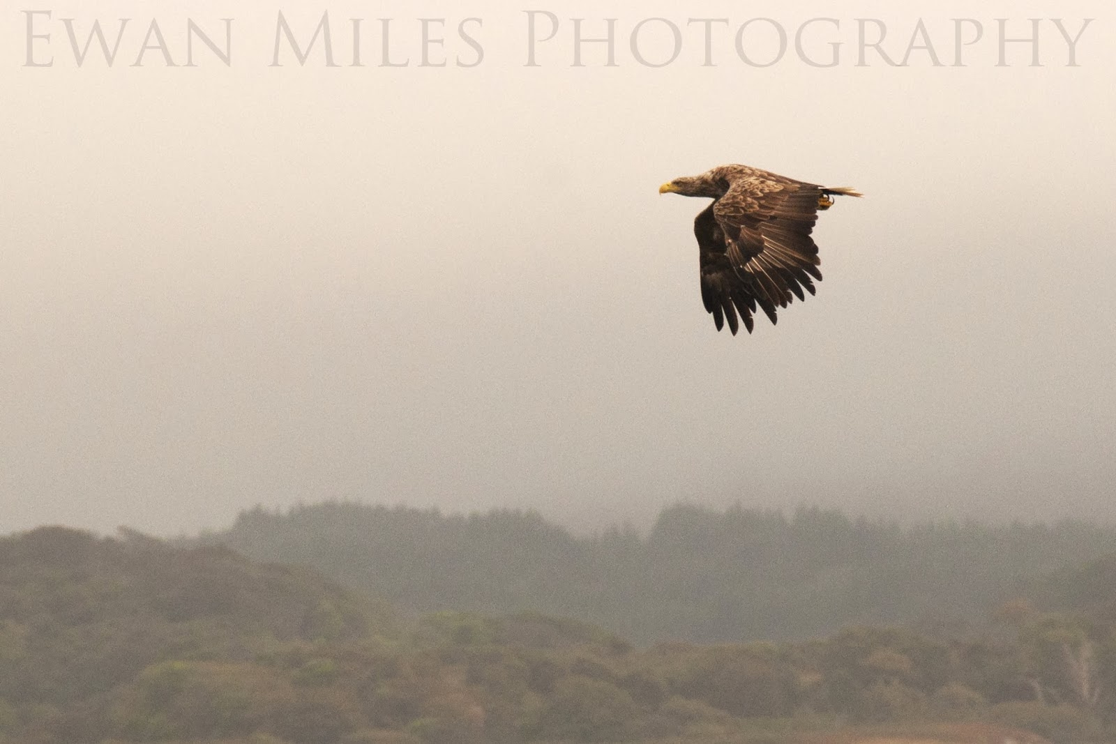 Argyll eagle action – Scotland's soaring reputation could be shot at?