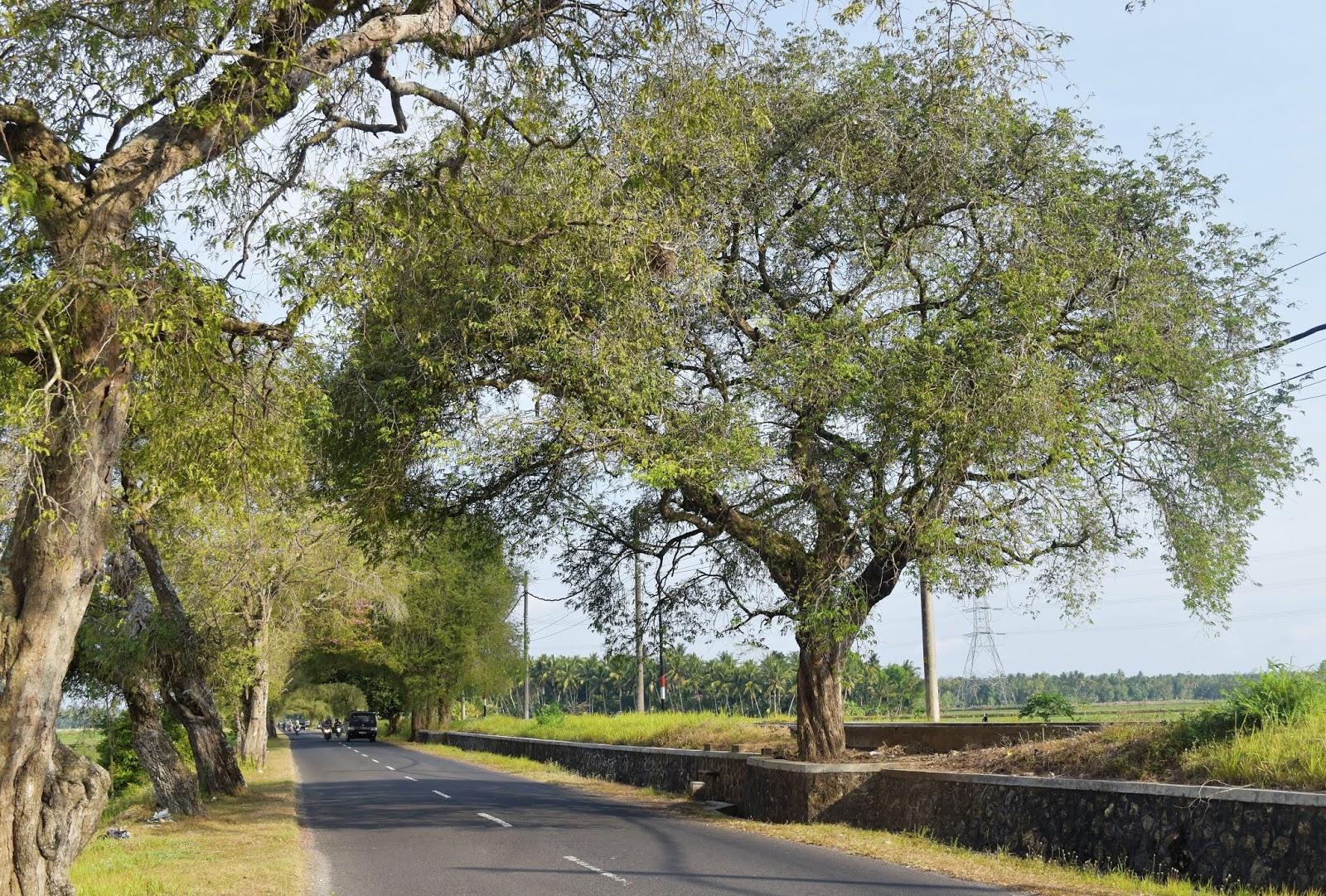 11 Gambar Pohon Peneduh Rumah Tahun 2020