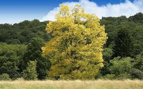 Faux-acacia