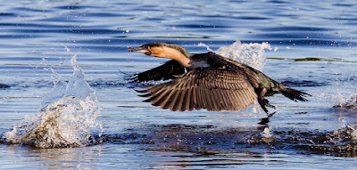 Canon EOS 6D Full Frame Body / EF 70-300mm f/4-5.6L IS USM Lens Birds In Flight Test 04
