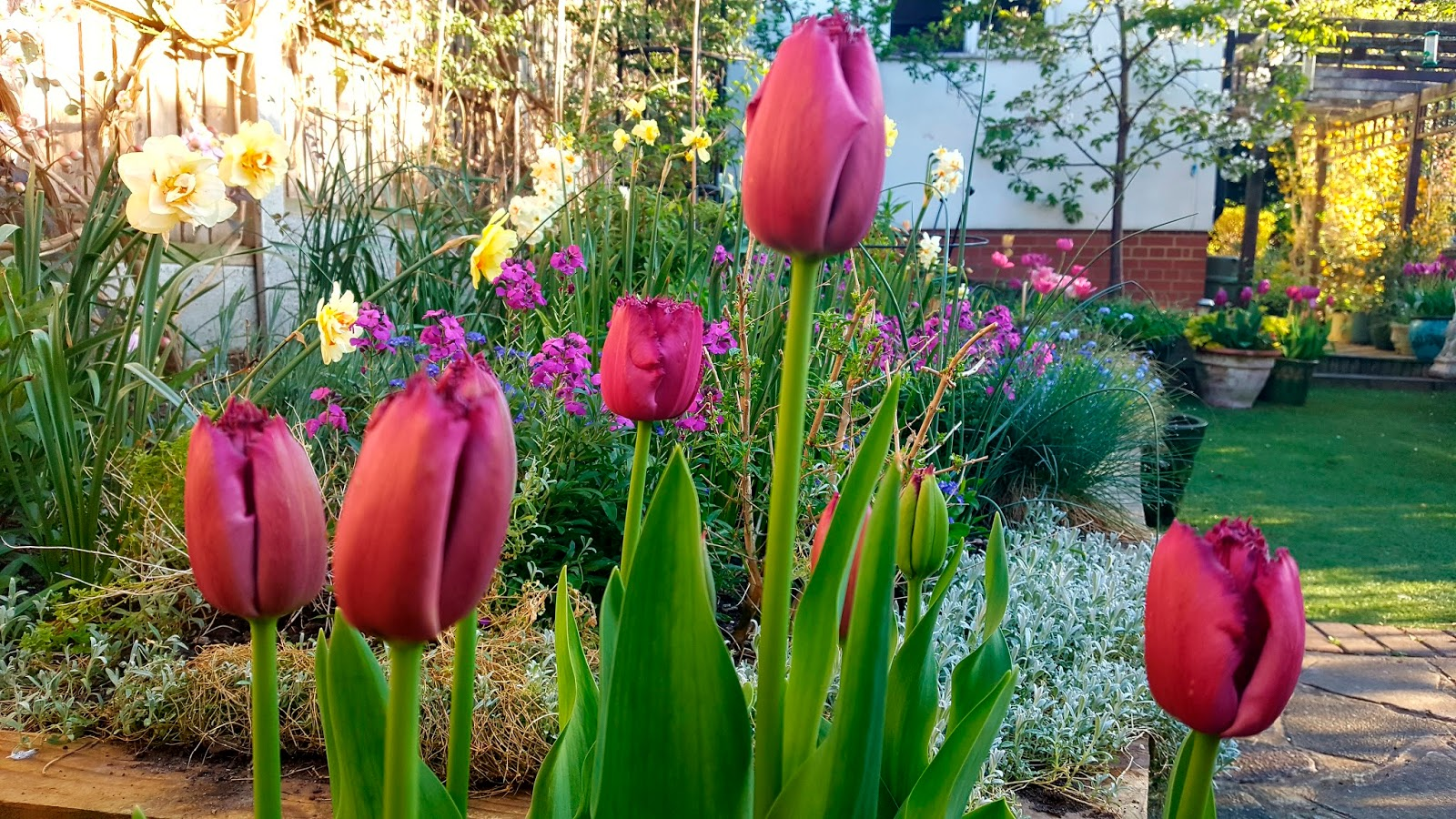 Image showing a small garden in London ablaze with purple and pink tulips and daffodils.