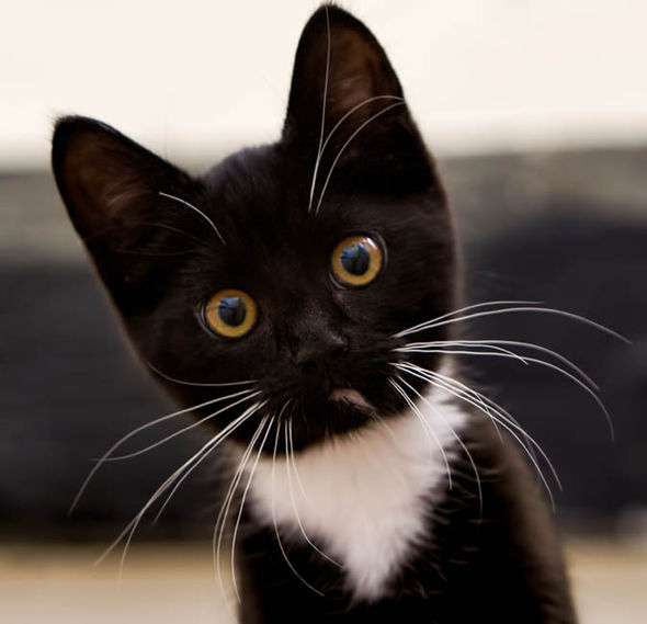 Cute & Beautiful Black& White Cat Wallpaper