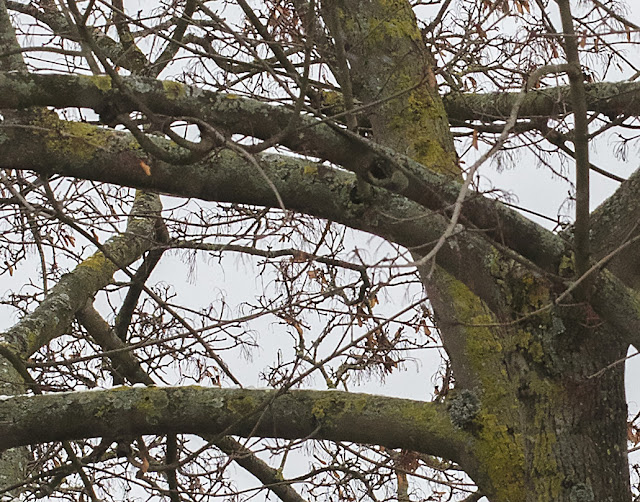 Lichens on a tree on Bourne Vale, Hayes, 13 January 2017.