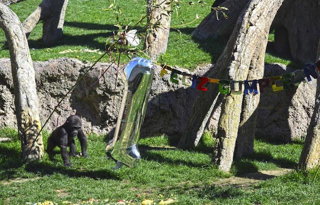 El bebé gorila Pepe celebra su primer cumpleaños en Bioparc