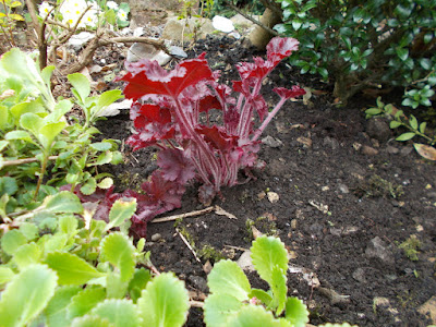 Heuchera after replanting Heuchera problems Green Fingered Blog