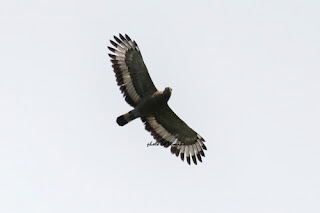 Crested serpent eagle in Brunei