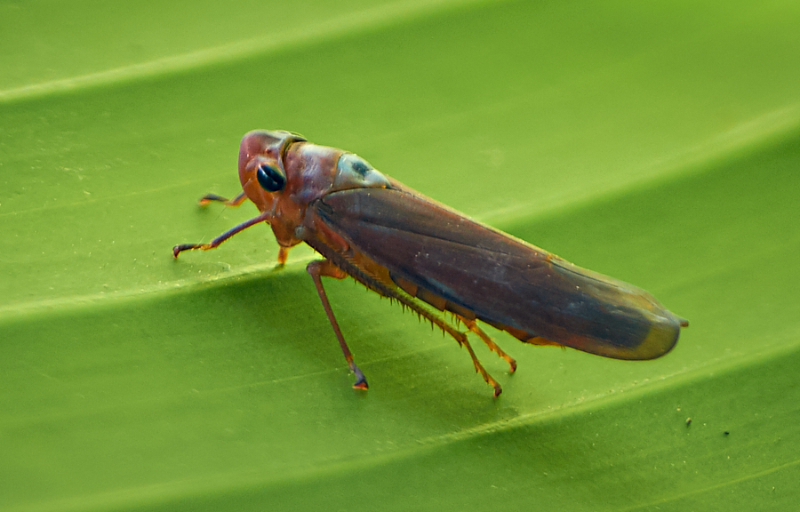 flying insect,photograohy,tropical rain forest, Philippines