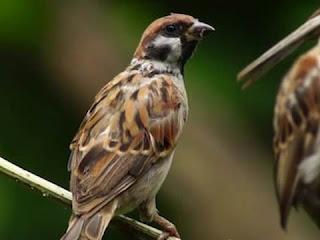 sparrow bird information in hindi | घरेलू गौरैया