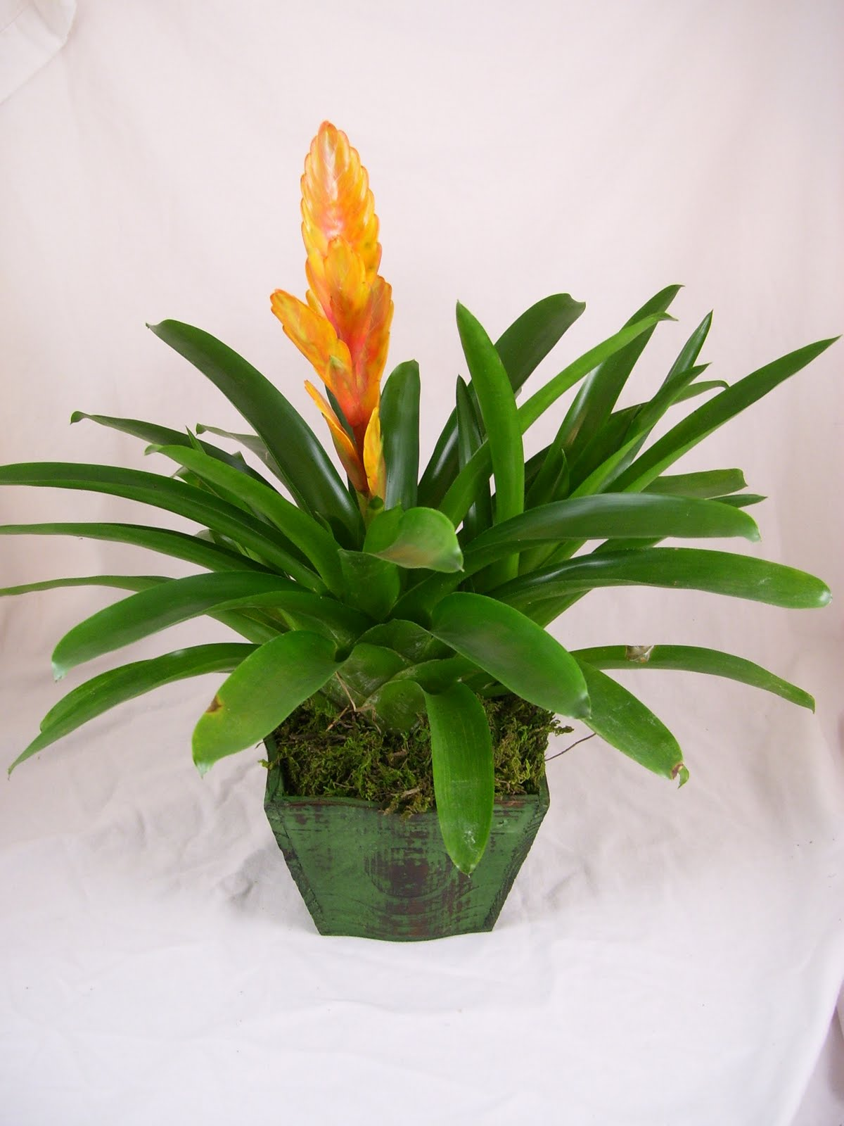 Bromeliads How To Keep The Color Going: Absolutely Bushed: February 2014