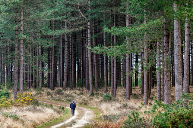 Man walking through a beautiful pine tree forest at Studland Bay