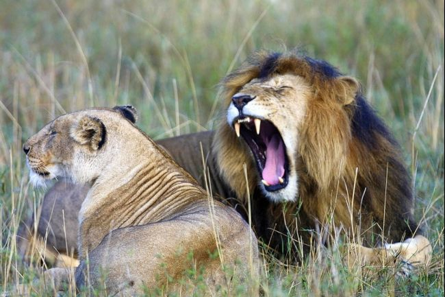 Beautiful Animals Safaris Amazing Lions Big Cats Africa