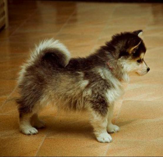 husky puppies pomeranian - photo #4