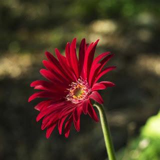 Gambar Bunga Aster yang Cantik 9
