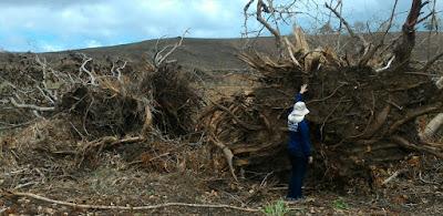 Morte de árvores e desmatamento ilegal são investigados pela Adema