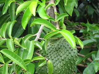 Sehat alami dengan daun dan buah sirsak