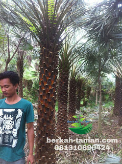 Jual pohon copernis alba