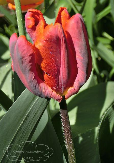 тюльпан Blumex, тюльпаны, сад, цветник, тюльпаны в саду, сорта тюльпанов, фото тюльпанов
