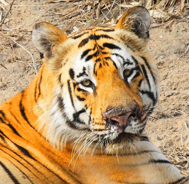 The beautiful face of a Royal Bengal Tiger at Tadoba Tiger Reserve, India