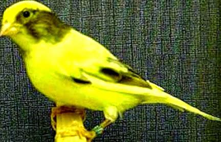 kenari american singer kuning
