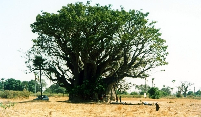 arbre qui pousse vite identifie eucalyptus un arbre qui