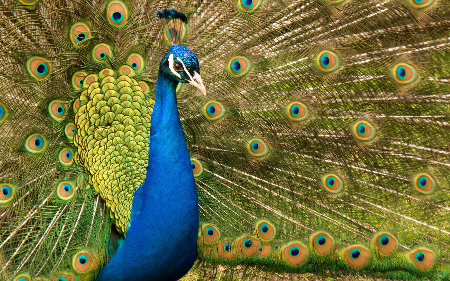 Wallpaper download free image search hd - Ltest Hd Wallpaper Peacock Peacock Hd Wallpapers Peacock Hd Pics Download Pecock Pictures