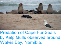 https://sciencythoughts.blogspot.com/2015/11/predation-of-cape-fur-seals-by-kelp.html