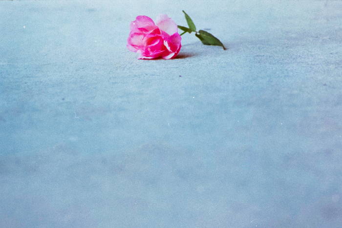 pink rose color film photography