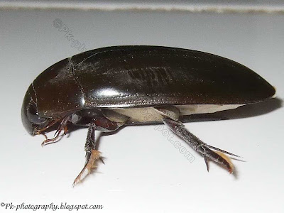 Water Scavenger Beetle