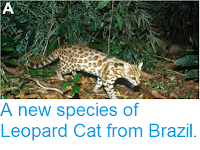 http://sciencythoughts.blogspot.co.uk/2014/10/a-new-species-of-leopard-cat-from-brazil.html