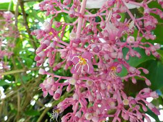 Medinilla magnifica - Médinille magnifique