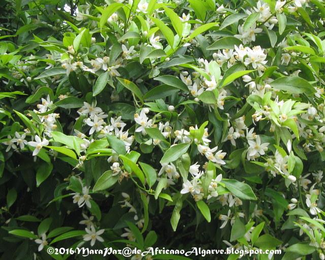 flor de tangerineira