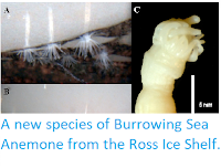http://sciencythoughts.blogspot.co.uk/2014/06/a-new-species-of-burrowing-sea-anemone.html