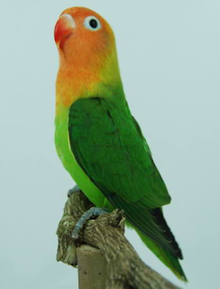 Burung Lovebird - Penyakit Virus Burung yang Menyerang Burung Lovebird  dan Cara Penangannannya - Penangkaran Burung Lovebird