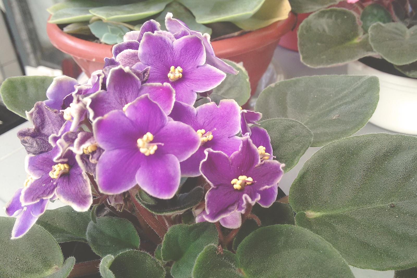 vaso violeta roxa