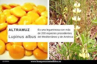 Lupinus albus o Altramuz dulce