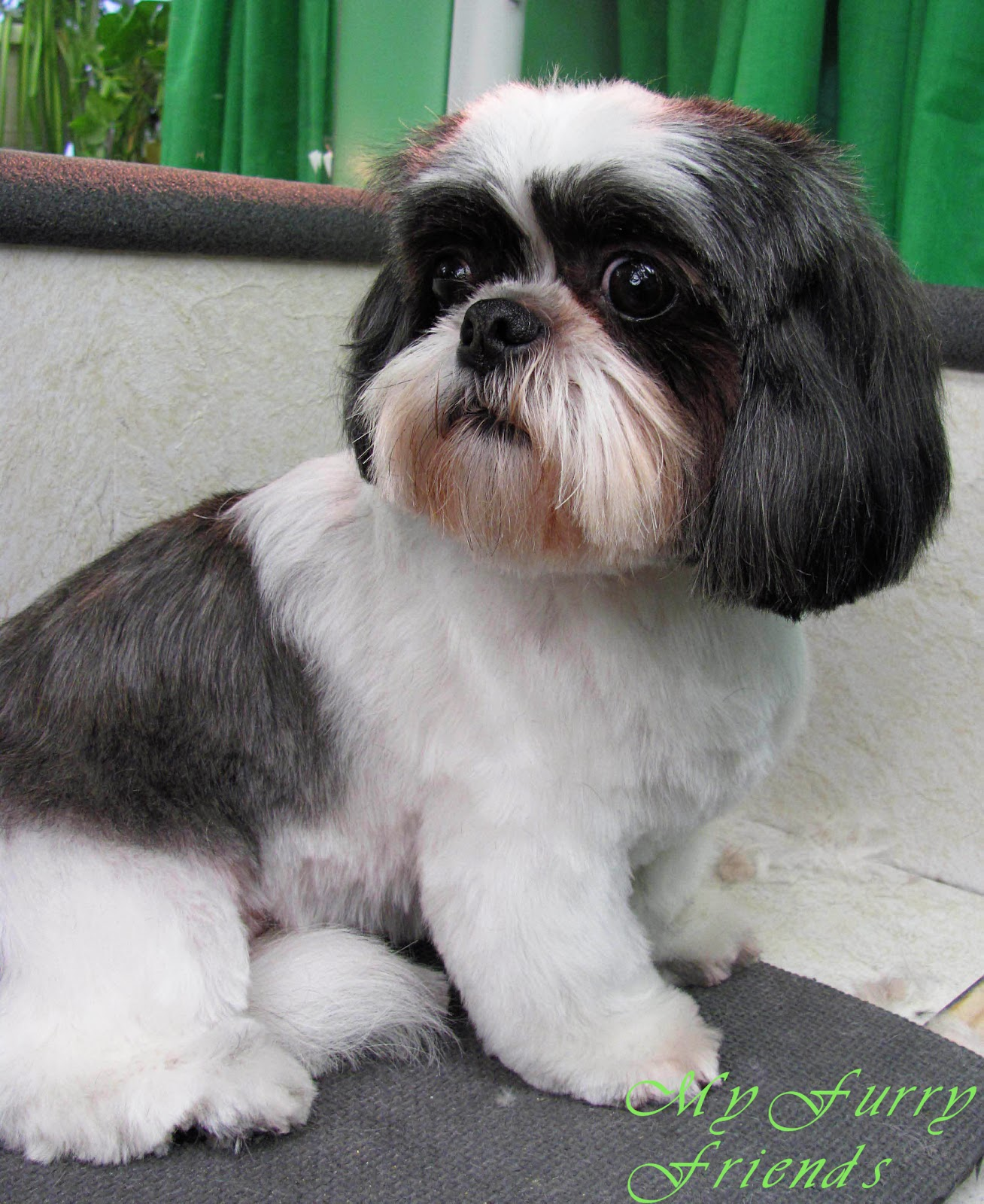 images of shih tzu haircuts pet grooming the good the bad the furry scissoring a 7176