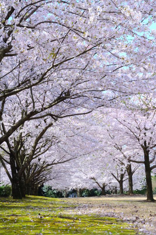 大乗寺丘陵公園の絨毯のように咲く桜