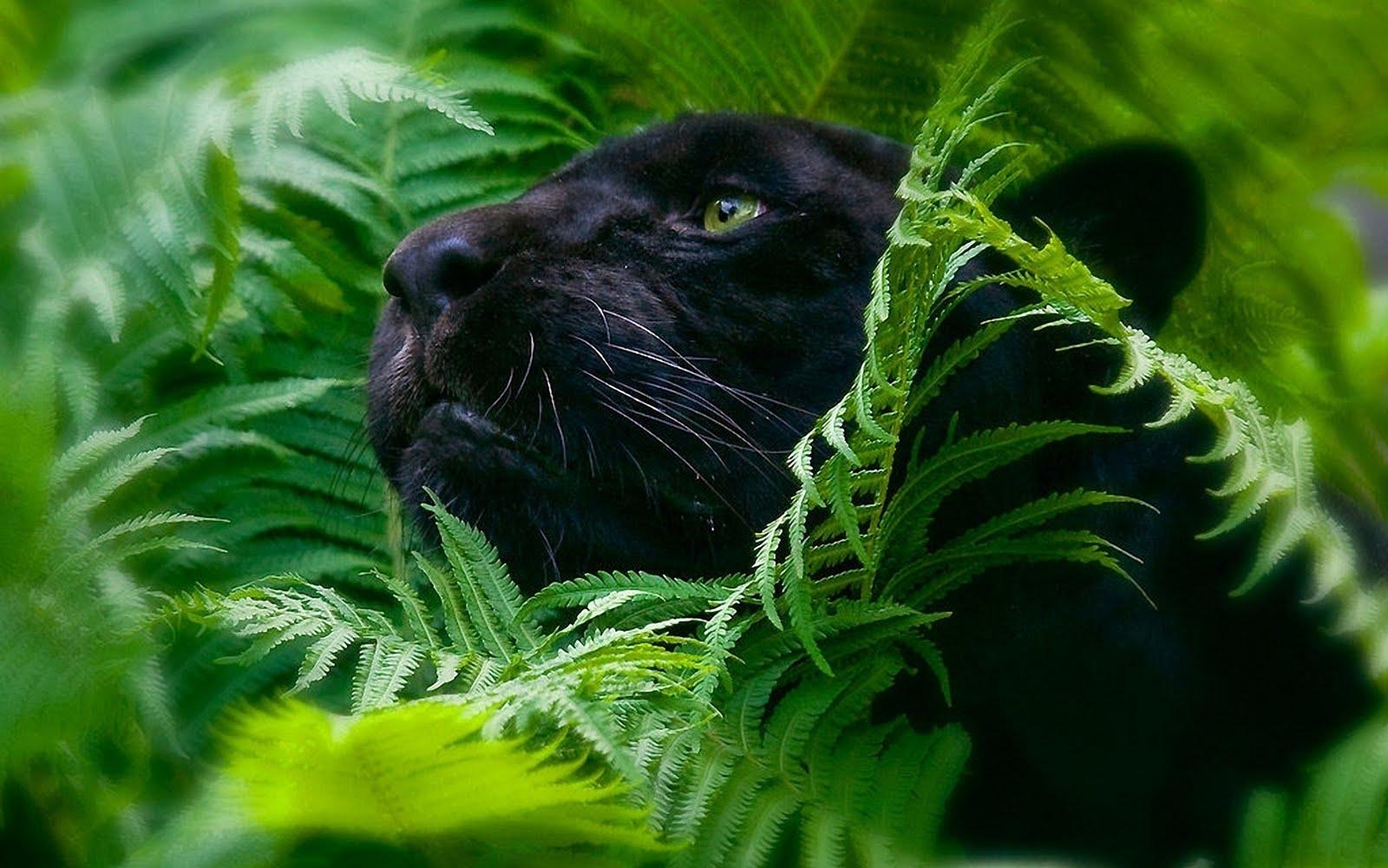 Black Panther Animal 4k Wallpapers For Mobile: IMAGENES ANIMALES EN ALTA DEFINICION: Mayo 2013