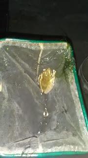 Cara Merawat Burayak Ikan Cupang Agar Tidak Mati Mulai Dari Telur Hingga Siap Jual Dan Juga Dari Hama