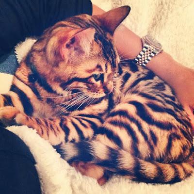 Toyger Tiger Cat behaviour