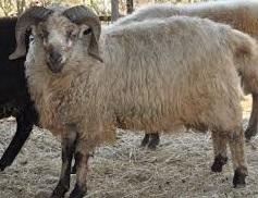 3 jenis domba penghasil susu atau domba perah yang terdapat dibeberapa negara