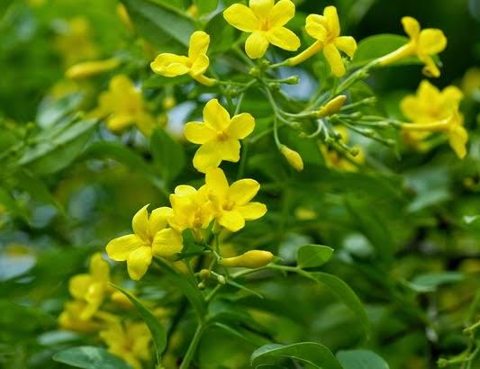 plante grimpante a petites fleurs jaunes
