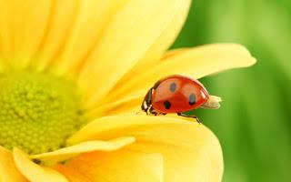 Plantas que atraen a los insectos beneficiosos como la Mariquita